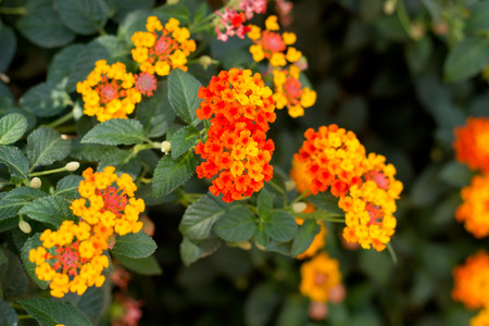 bush trimming: Beautiful Colorful Hedge Flower, Weeping Lantana, Lantana camara Linn Stock Photo