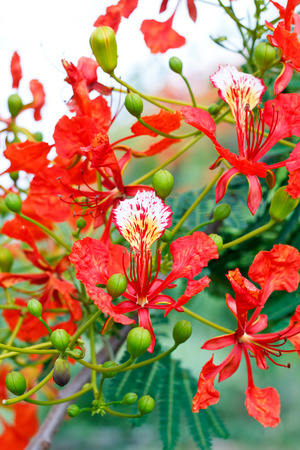 rosids: Flam-boyant, The Flame Tree, Royal Poinciana