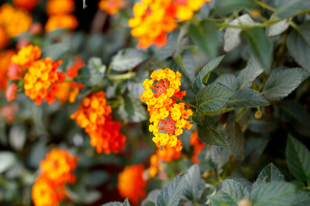 lantana camara: Beautiful Colorful Hedge Flower, Weeping Lantana, Lantana camara Linn Stock Photo