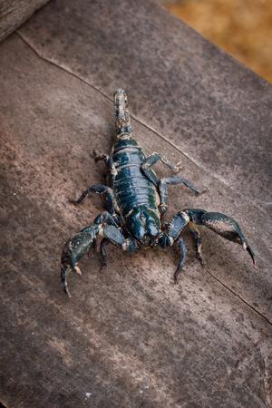 imperator: Emporer Scorpion (Pandinus imperator)