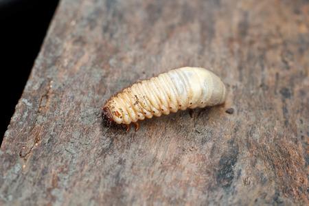 hercules: Larva of a Hercules beetle, Dynastes hercules