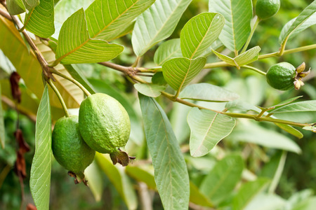 Guava fruit on plant