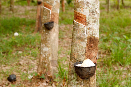 tapping: Tapping sap from the rubber tree. Stock Photo