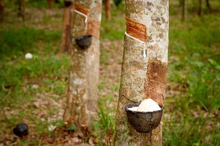 tapping: Toccando linfa dell'albero della gomma.