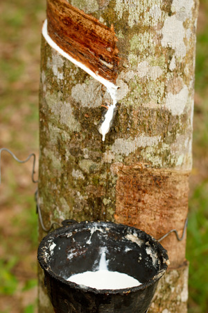 sap: Tapping sap from the rubber tree. Stock Photo