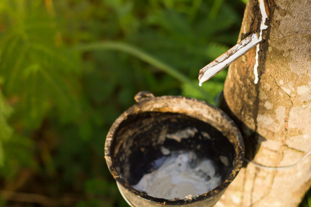 tapping: Tapping sap from the rubber tree.Focused at rubber liquid.