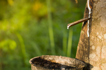 rubber: Tapping sap from the rubber tree.Focused at rubber liquid.