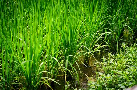 rice terrace: Rice terrace. Stock Photo