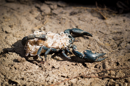 stinger: Baby Emporer Scorpion (Pandinus imperator) with their mom. Stock Photo