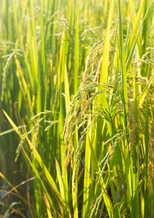 plant seed: Rice seed on plant. Stock Photo