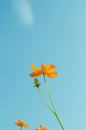 filtered: Cosmos flowers on vintage background. Filtered image.