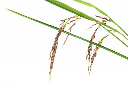 grain fields: Rice seed.