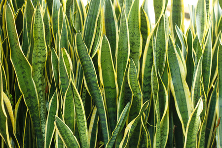 Mother-In-Law's Tongue (Sansevieria): Known as Mother-In-Law's Tongue and Snake Tongue (for being sharp and for their long shape) these plants are hardy and pleasant to look at. Banque d'images