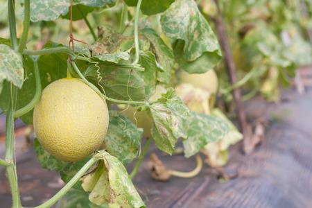 Fresh melon on plant in melon farm.