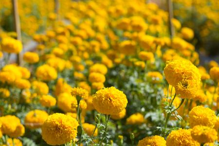garden marigold: Marigold flower in the garden Thailand. Stock Photo