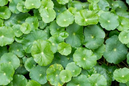 Centella asiatica plant,Gotu kola leaf.