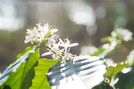 arbol de cafe: Cierre de caf� Flor del �rbol con flores de color blanco.