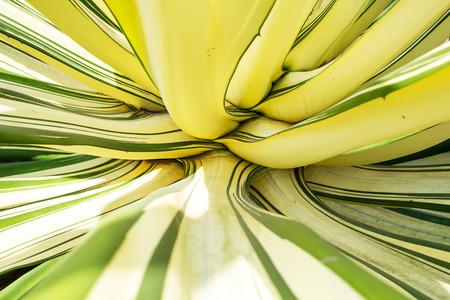 century plant: Close up of  big Century Plant leaf.