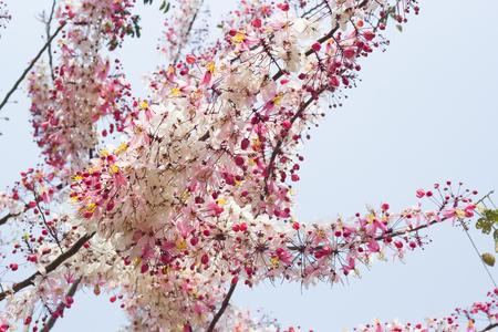 wishing: Wishing Tree, Pink Showe, Cassia Bakeriana Craib