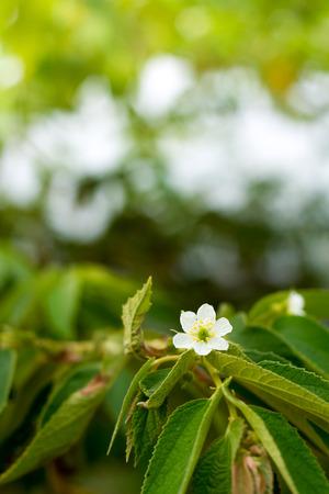 jamaican: Jamaican cherry flower on plant.