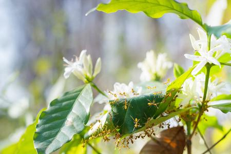 planta de cafe: Las hormigas rojas en la planta de caf� ar�bica. Foto de archivo