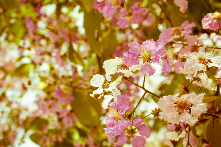 pers: Filtered to vintage color of Pink color of Queens crape myrtle flower.(Lagerstroemia speciosa (L.) Pers.) Stock Photo