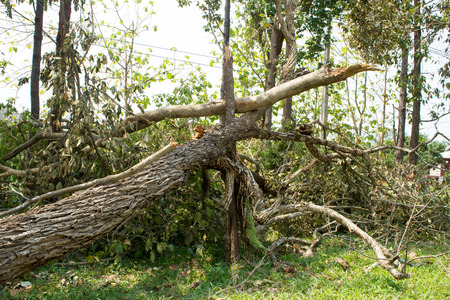 severe weather: Fallen tree damaged  by natural wind storm