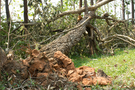 wind storm: Fallen tree damaged  by natural wind storm