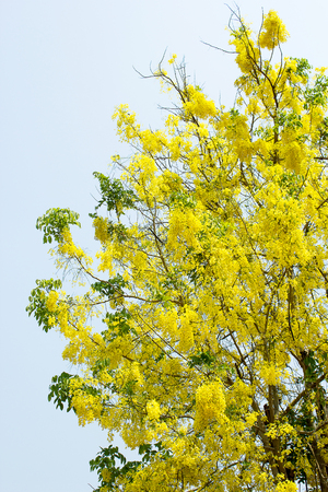 cassia: Golden shower (Cassia fistula) tree.
