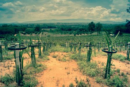 plantando arbol: campo de la plantación de árboles frutales (fruta de dragón), tono de época Filterred.