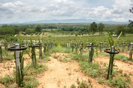 plantando arbol: campo de la plantación de árboles frutales (fruta de dragón) Foto de archivo