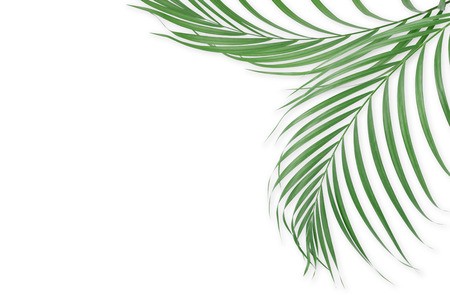 lay: Tropical palm leaves on white background. Minimal nature. Summer Styled.  Flat lay. Image is approximately 5500 x 3600 pixels in size. Stock Photo