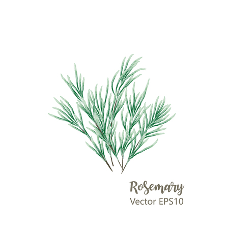 Watercolor hand drawn twig of rosemary. Isolated eco natural herbs illustration on white background. Banco de Imagens - 122977676