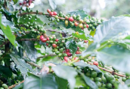 arbol de cafe: granos de café en cafeto