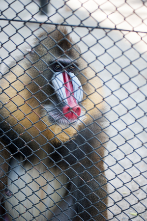 mandrill: mandrill in cage at zoo