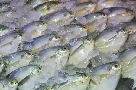 Pomfret fishes cover with ice on sell in French market photo