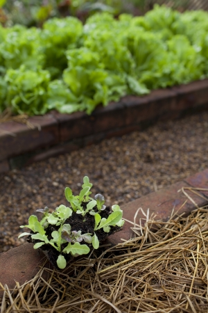 Baby lettuce prepare for plant in garden photo