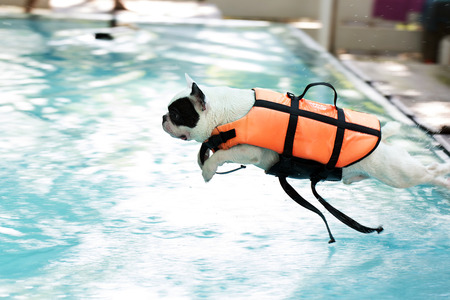 French Bull dog jumping into pool photo