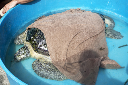 healed: Injured turtle was healed by marine sciencetist ready to get back to the sea