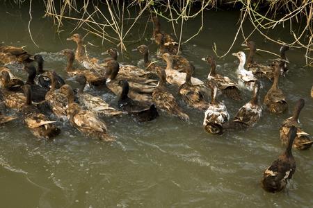 Ducks swimming in pond photo