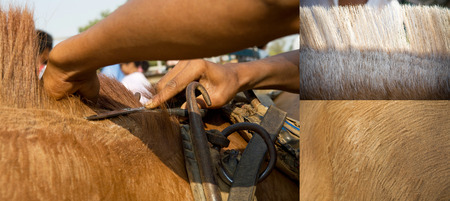 cutting horse: Cutting horse hair,Horse skin shaving by scissors Stock Photo