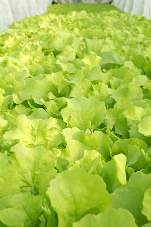 hydroponics: Lettuce grow in hydroponics system Stock Photo