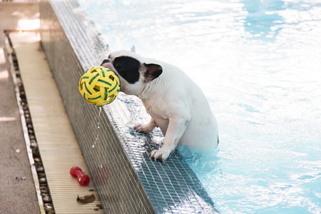 French Bull dog climb up from pool with ball in mouth