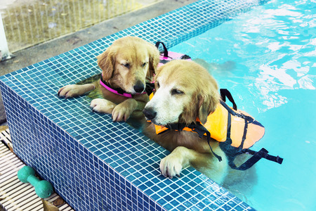 Two Golden retrievers rest in pool