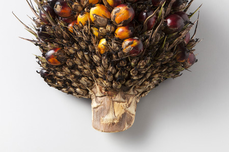 palm fruits: Oil palm bunch on backgroundclose up Stock Photo