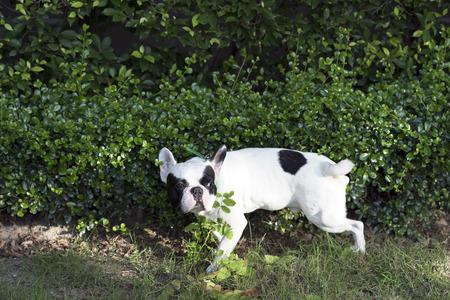defecate: Bulldog pip� French