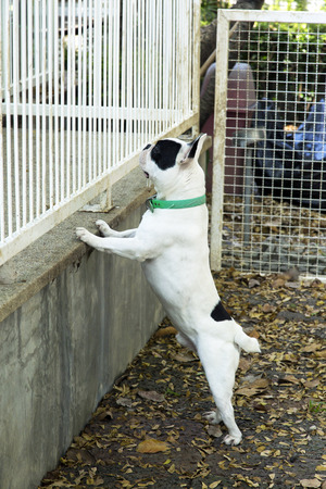 look inside: French bulldog try to look inside fence