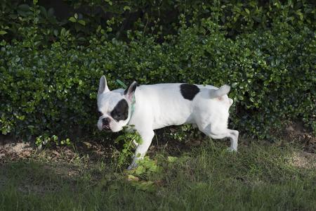 peeing: French bulldog peeing Stock Photo