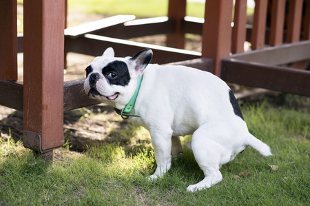 dog poop: French bulldog pooping at grass field