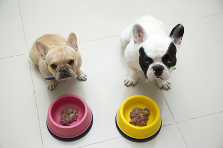 dog food: Two French bulldogs waiting for command to eat Stock Photo